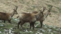 Chamois Walking Across Hillside