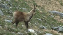 Chamois Standing And Watching