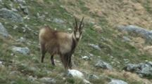 Chamois Watching Chewing Cud And Scratching
