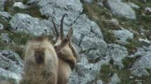 Chamois Standing Looking Around Then Scratching