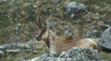 Chamois Behind Rock Chewing Cud Steps Up To Look