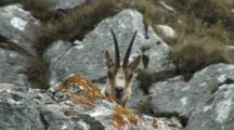 Chamois Bedded Down Head Showing Above Rock