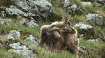 Chamois Moulting Scratches Itch And Exits Frame