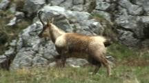 Chamois Walking Stops And Looks