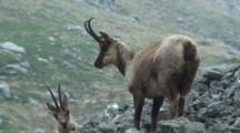 Chamois Standing In Rocks Looking Down Valley