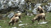 Chamois Herd Feeding Among Rocks