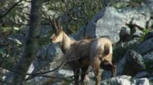 Chamois Buck In Forest Watching
