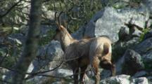 Chamois Buck In Forest Walking In Rocks