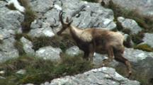 Chamois In Rocks Chewing Cud Jumps Between Rocks