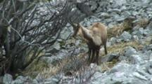 Chamois Marking Territory Then Exits