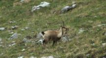 Chamois Running Up Hill Exits