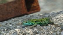 Italian Wall Lizard Basking Flees