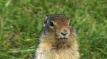 Columbian Ground Squirrel Standing Alert
