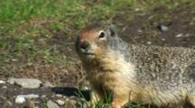 Columbian Ground Squirrel Near Burrow
