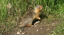 Columbian Ground Squirrel Stretches And Feeds Near Burrow Entrance