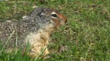 Columbian Ground Squirrel Feeds Near Burrow Entrance