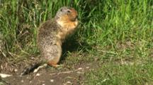 Columbian Ground Squirrel Feeding Near Burrow Pulls Up Grass And Holds With Paws