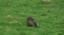 Coypu Nutria Grazing On Pasture