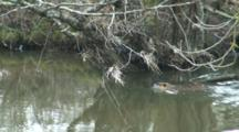 Coypu Nutria Swimming