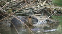 Coypu Nutria Inwater At River Bank