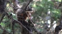 Douglas Squirrel Carrying And Feeding On A Mushroom