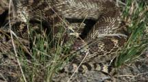 Western Rattlesnake Curled Up In Sun