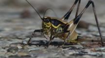 Katydid Or Bush Cricket Close Up