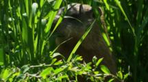 Groundhog Feeding In Long Grass