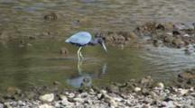 Little Blue Heron Catching And Eating Small Fish