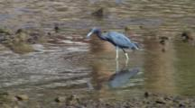 Little Blue Heron With Reflection Hunting In Shallow Water