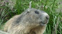 Alpine Marmot Closeup