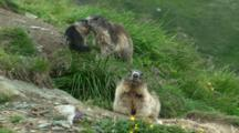 Alpine Marmot Family Including Juvenile