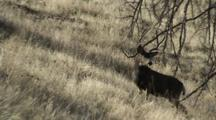 Mule Deer Buck During Rut Doe Walks Past