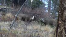 Mule Deer Bucks Fighting During Rut