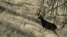 Mule Deer Buck Watching Does Walks Uphill Exits Frame