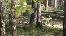 Mule Deer Doe Running Through Open Forest