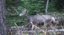Mule Deer Doe Running Through Forest