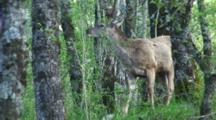 Red Deer Hind Feeding Spring Shoots