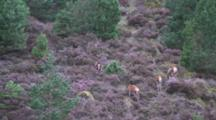 Red Deer Hinds Feeding In Heather