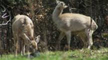 Red Deer Feeding On Spring Grass One Hind Leaping With Joy