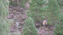 Red Deer Hind Feeding In Heather