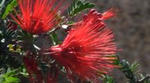 Baja Fairy Duster Flowers Sonoran Desert