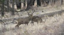 Mule Deer Large Buck Courting Doe