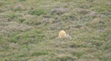 Roe Deer Buck Feeding In Heather