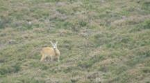 Roe Deer Buck Feeding In Heather Runs