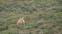 Roe Deer Buck Feeding In Heather Grooming Then Alert