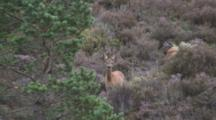 Roe Deer Doe In Heather Stamping And Barking In Alarm