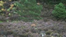 Roe Deer Doe In Heather Barking In Alarm
