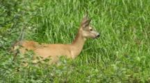 Roe Deer Doe Feeding In Long Grass Walks Away