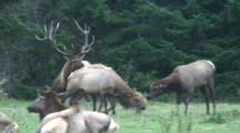 Roosevelt Elk Bull,Large Antlers,On Forest Edge Running To Cow And Checking For Estrus